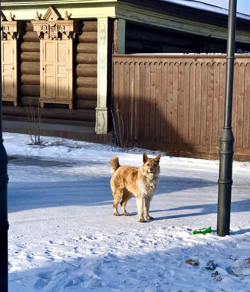 stray dog in ulanude